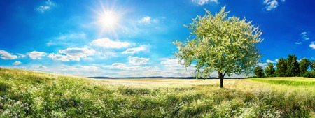 Panoramic landscape: vast meadow in spring, with blossoming tree, blue sky and the sun