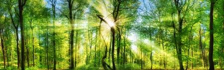 Forêt scénique d'arbres à feuilles caduques vert frais avec le soleil coulant ses rayons enchanteurs à travers le feuillage, paysage panoramique tiré