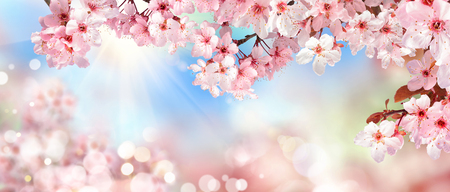 Panoramic spring scenery with beautiful pink cherry blossoms, bokeh background, the sun and blue sky