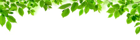Green leaves isolated on white as an ornate panoramic nature border 写真素材
