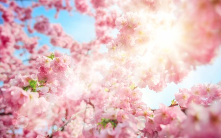 The spring sun shines through branches of lush pink cherry blossoms, with bright blue sky and lens flare