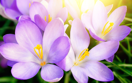 Closeup  of fully blossomed purple crocus flowers in warm sunlight