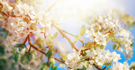 White apple blossoms on a branch in beautiful sunlight with blue sky