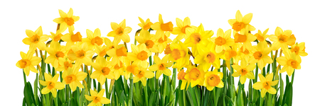 Bright studio shot of blossoming yellow daffodils isolated on white background in panoramic format