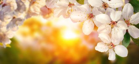 美しい桜夕日、バックライト付きのクローズ アップ、パノラマのフォーマット、フレームまたはコピー領域と背景にも適します