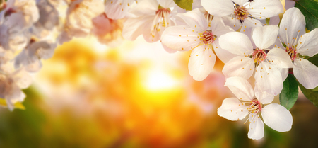 Beautiful cherry blossoms at sunset, backlit closeup, panoramic format, also suitable as frame or background with copy space