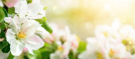Apple blossoms in soft dreamy sunlight, panoramic closeup with shallow focus and copyspace on bokeh background Reklamní fotografie