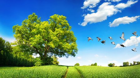 birds in tree: Large oak tree on a green field, a sunny scene with deep blue sky and white clouds, flying birds and tracks leading to the horizon Stock Photo
