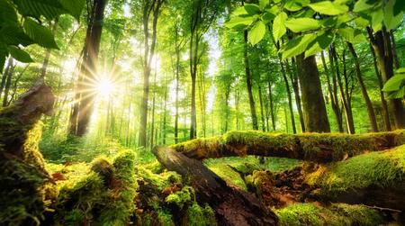 Paysage de forêt verte avec le soleil coulant de beaux rayons à travers le feuillage, bois moussu au premier plan