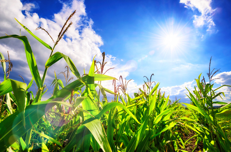Corn field with the bright sun, blue sky, white clouds and beautiful lens flare Reklamní fotografie