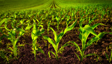 Corn field with young plants on fertile soil, a closeup with vibrant green on dark brown Archivio Fotografico