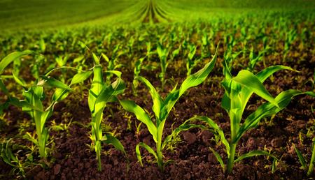 Maïsveld met jonge planten op vruchtbare grond, een close-up met levendige groen op donker bruin Stockfoto