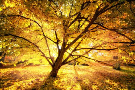 Gold rays of autumn sunlight enchanting a beautiful tree in a park