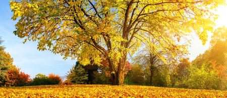 Beautiful tree in autumn on a meadow covered with gold leaves and warm sunshine