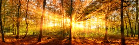 나무를 통해 떨어지는 생생한 황금 sunrays와 총 포리스트 파노라마 풍경 스톡 콘텐츠