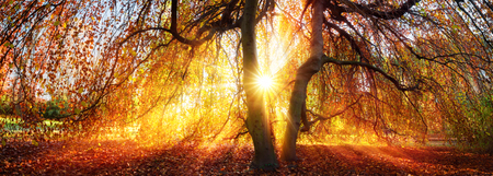 Golden rays of the autumn sun fall through a tree in a park, panorama Reklamní fotografie