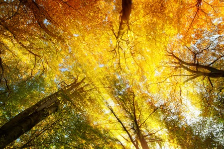 Colorful tree canopy with beautiful warm sunrays in autumn, worms eye view