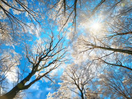 Forest in winter with snow white treetops against the deep blue sky and the sun, worms eye view