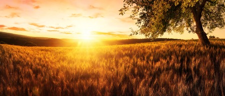 Rural landscape panorama: a gold wheat field at sunset, with a single tree and warm rays of light Imagens