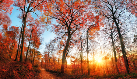 Autumn forest scenery with red foliage and blue sky, the setting sun and tall trees Imagens