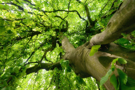 Worms eye view of a beautiful tree trunk and canopy with fresh green spring foliage, soft light Imagens