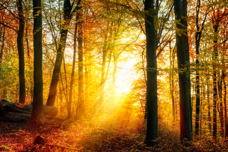 Enchanting autumn light in a forest, with vivid rays of gold light falling through the trees unto the ground Imagens