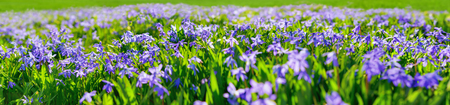 Blue squills: purple spring flowers on a meadow, extra wide panoramic format, suitable as a banner