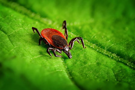 Red tick scrabbling on a green leaf, sharp closeup Imagens