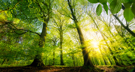 Scenic forest of fresh green deciduous trees, with the sun casting its warm rays through the foliage Imagens
