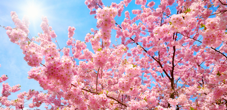 Blossoming cherry trees with their pink over nice blue sky with the bright sun Imagens