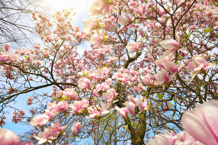 Springtime scenery with sunlit magnolia blossoms on a tree over clear blue sky