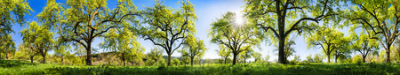 Panoramic rural landscape on a glorious sunny spring day, with fresh green foliage of fruit trees on a meadow, the sun and blue sky
