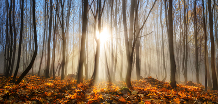 Forest with young trees in autumn or winter, enchanted by rays of sunlight falling through mist Imagens