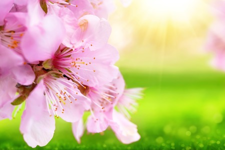 Spring background: beautiful closeup of cherry blossoms with out-of-focus fresh green grass and warm sunlight Reklamní fotografie