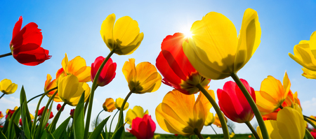 Beautiful tulips in vibrant red and yellow greeting the spring sun in the clear blue sky Imagens