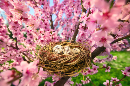 Cozy birds nest with spotted eggs in a beautiful blossoming cherry tree on a sunny day