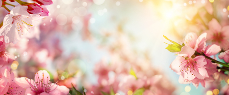 Panoramic spring background with beautiful pink cherry blossoms, bokeh background and lots of warm dreamy sunlight