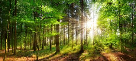 Panoramic landscape: beautiful rays of sunlight shining through green foliage in a forest clearing