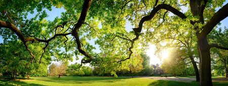 Tranquil panoramic scenery in a beautiful park with a meadow and the sun shining through the green branches of a large oak tree