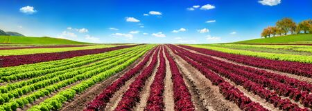 Panoramic agriculture shot showing a large red and green lettuce field with clear blue sky Stock fotó