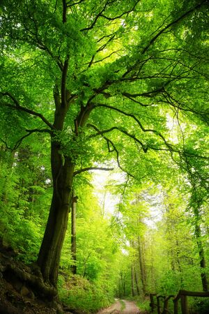 Majestic beech tree in a green forest with soft light, portrait format