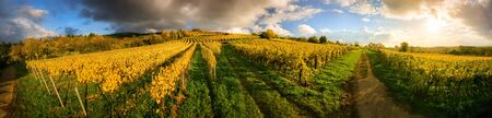 Panoramic vineyard landscape before sunset in autumn, with gold grapevines and some dark clouds illuminated with warm colors