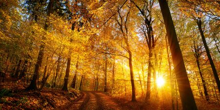 The setting sun enchants a deciduous forest with vibrant gold colors, panoramic shot