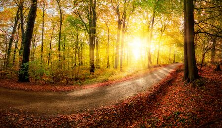 Autumn landscape shot of a footpath in the forest before sunset, with the foliage shining gold in the warm sunlight