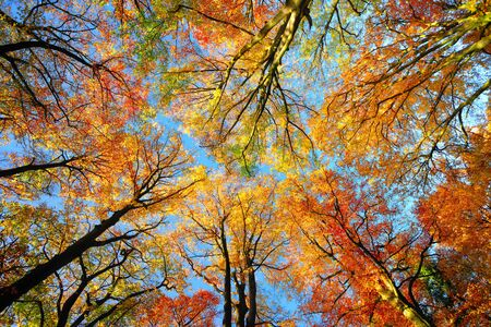 Beautiful canopy of tall beech trees with colorful foliage and clear blue sky, worms eye view