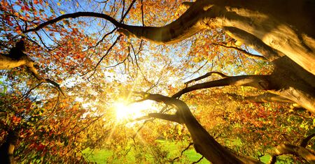 Rays of sunshine viewed through the colorful branches of a large tree in autumn Stock fotó
