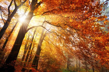 Colorful autumn scenery in a forest, with sunrays falling through gold and red foliage in wafts of mist Stock fotó