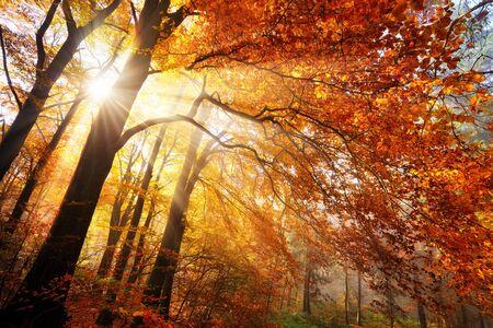Colorido paisaje otoñal en un bosque, con rayos de sol cayendo a través del follaje dorado y rojo en ráfagas de niebla Foto de archivo