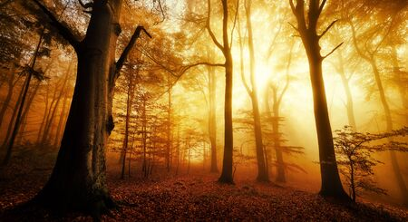 Dramatic scenery in a forest in autumn or winter, with silhouettes of trees and the rays of sunlight warming the color of the fog