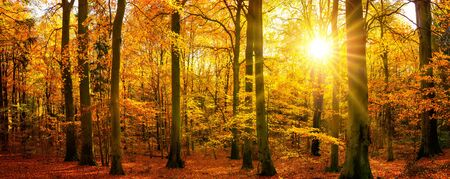 Gold autumn scenery in panorama format: a forest in vibrant warm colors with the sun shining through the trees